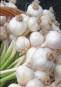 Soft_neck_garlic