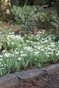 Snowdrops in the rock garden.