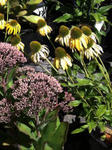 Echinacea-Sunbird