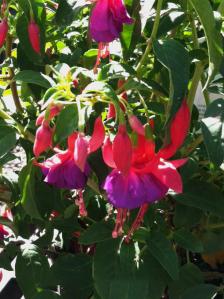 Fuchsia-ArmyNurse