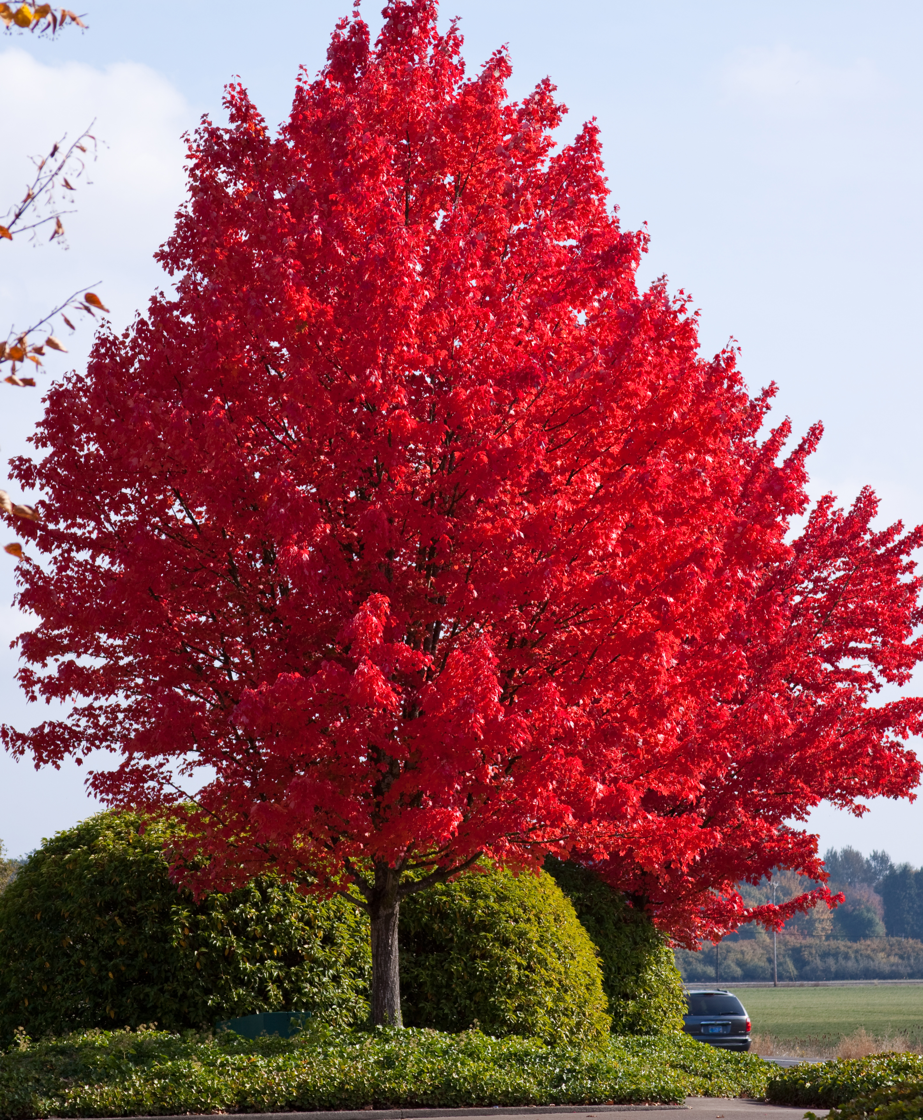 Red Maple Tree In Winter Perhaps A Shade Tree With