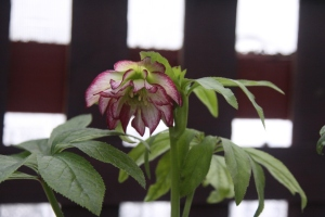 Hellebore_peppermint_ice