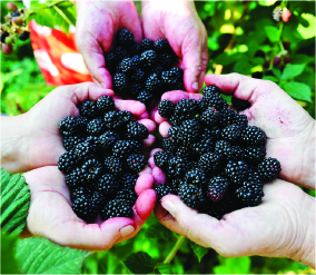 Blackberries_Hand