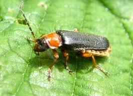 Soldier_Beetle