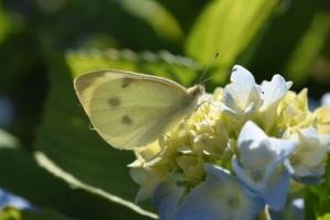 PollinatorBlogButterfly
