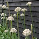 allium-silver-spring-gardenista