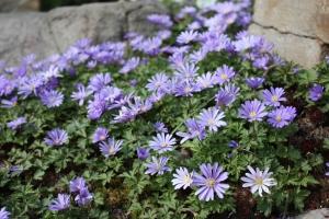 anemone_blanda_ms_0152