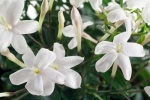jasminum_officinale