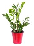 zeezee-plant